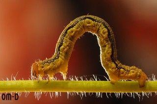 Если честно, я видела много раз, как муравьи затаскивают гусеницу в муравейник. Но саму драку увидела впервые. Более того, я не сомневалась, что победит муравей!