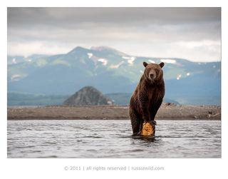 Медвежонок обнаружил стоявший в воде пень, поставил на него передние лапы, чтобы иметь обзор речки и проходящей по ней изредка рыбы.