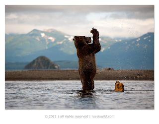 Но рыба не появлялась, и медвежонок начал играть с пнём. Он откусывал от него кусочки, зажимал их в лапах, изучал запахи ...