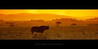 Черный носорог на закате в открытой саванне