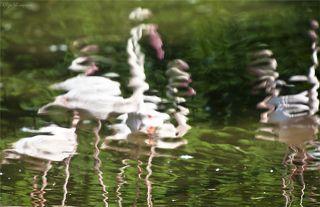 Фламинго.Они готовы просто влюбиться в свое отражение.