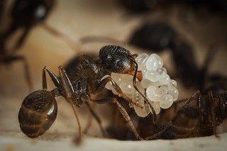 Из под матки яйца собирают муравьи. Никак у меня не получается увидеть, как именно они их скрепляют, но носят вот такими горстями