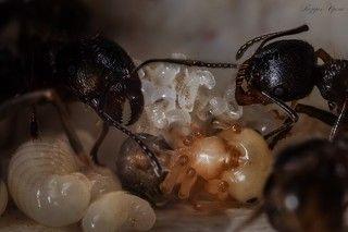 Собрав яйца, муравьи относят их в ясли. Через некоторое время, яйца превращаются в личинку. Собственно вот, тут все три этапа видно: яйца, только-только превращающиеся в личинку на заднем плане, личинка на переднем и куколка, уже набравшая цвет - в центре.