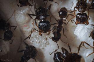 Как только яйца начинают превращаться в личинки, они отправляются в ясли. Пока все яйца в пакете не станут личинками, муравьи держат их на весу, вися вниз головой.