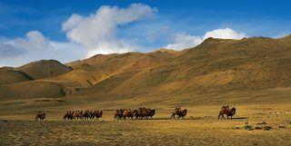Стадо бактрианов кочует по зимней степи вдоль отрогов от пастбища к пастбищу. Чуйская степь- климатическая зона России в которой верблюдов разводят в естественных условиях.