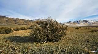 Трава и верблюжья колючка- основная кормовая бактрианов.