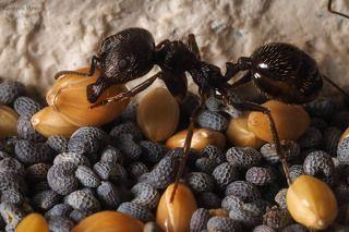 Муравьи-жнецы хранят зерно глубоко под землей, в отдельных камерах