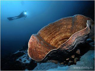 Корал слоновое ухо, метров 5 размером.