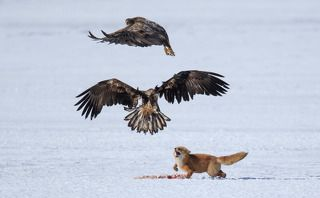 Fox and eagles disputes