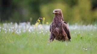 Малый подорлик (Aquila pomarina) Lesser Spotted Eagle