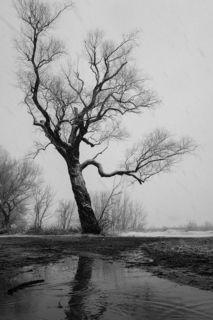 Дерево пострадавшее от ледяного дождя