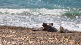 Южные морские львы поют под звуки прибоя. Полуостров Вальдес