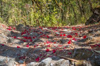 Примерно на высоте от 2000 м. до 3000 м. преобладают лиственные леса. Горные извилистые тропы местами были устланы опавшими цветками рододендрона.