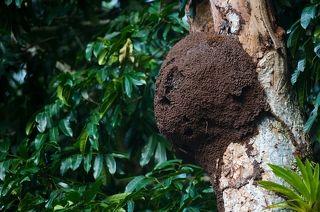 Гнезда, или термитники, могут располагаться на деревьях, на земле или даже под ней. Материал для постройки служит в основном древесина, перемешанная с почвой.