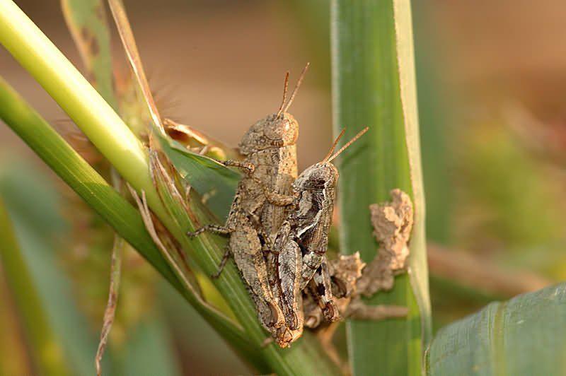 макро, насекомые Кобылкиphoto preview