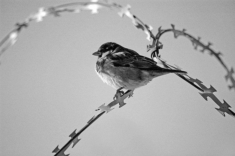 воробей, птица, черно-белое photo preview