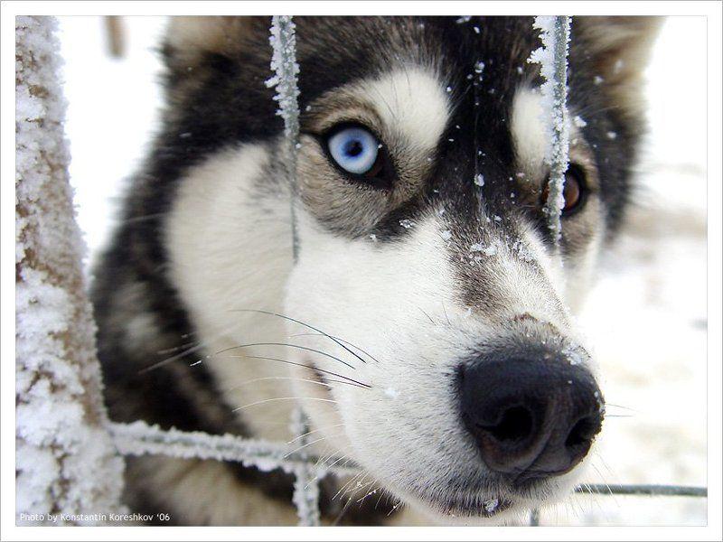 Финляндия, Finland, Лапландия, Lapland, Lappi, Хаски, Husky, ездовые, собаки, Лапландские, лайки, Сибирские Хочешь, прокачу? (Хаски. Финская Лапландия)photo preview