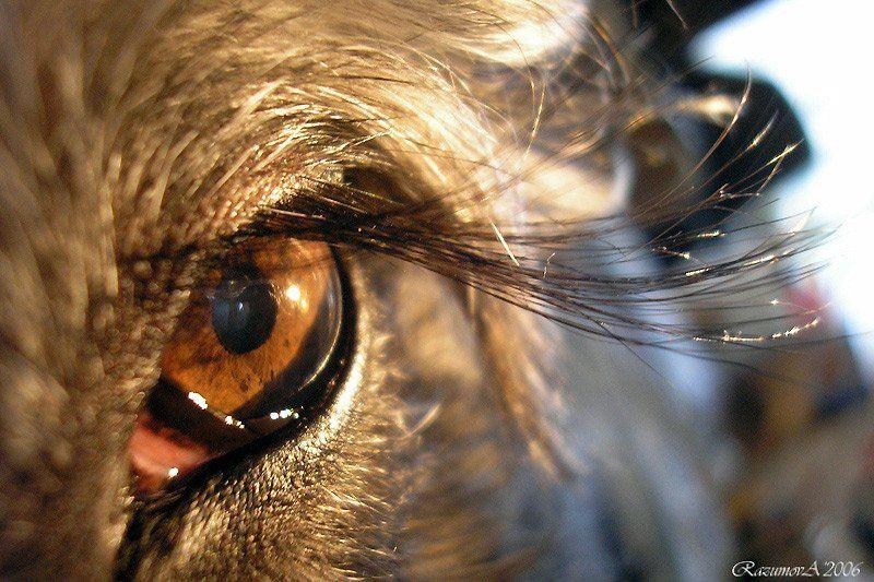 Ресницы, Чуня, Миттельшнауцер, собака, глаз Хлопая ресницами и взлетая...photo preview