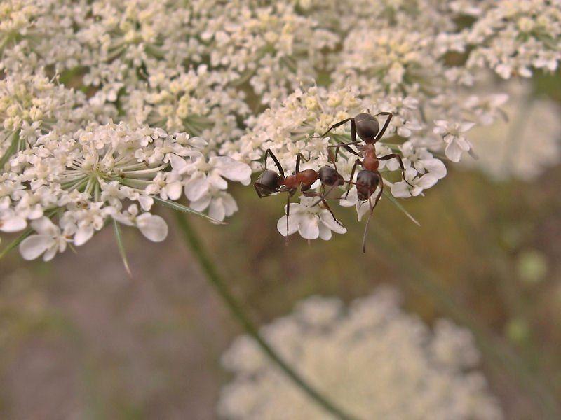 муравьи Смена караулаphoto preview