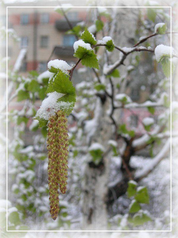 май, снег, береза майский снегphoto preview