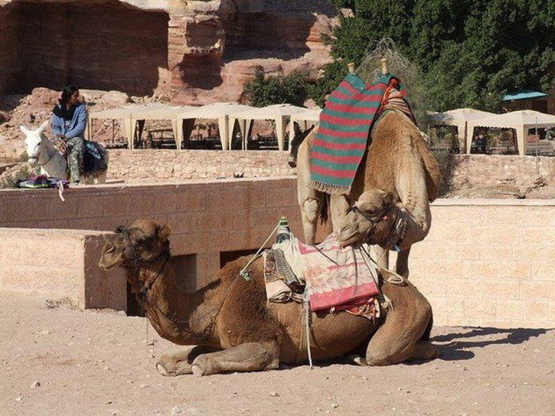 Иордания, Петра, верблюд Нежность верблюдаphoto preview