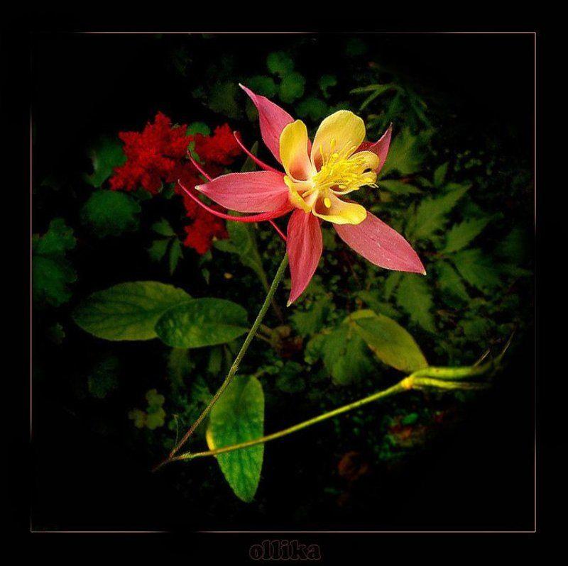 Аквилегия, лето ,дача Цветочек... Аленький...photo preview
