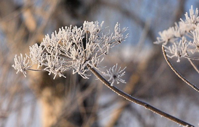 снег иней лед борщевик Ой, морозноphoto preview