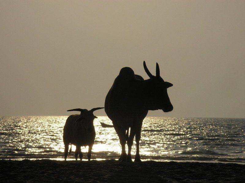 гоа, коровы, закат, арамболь Этих двух телок я снял на пляже в Гоаphoto preview
