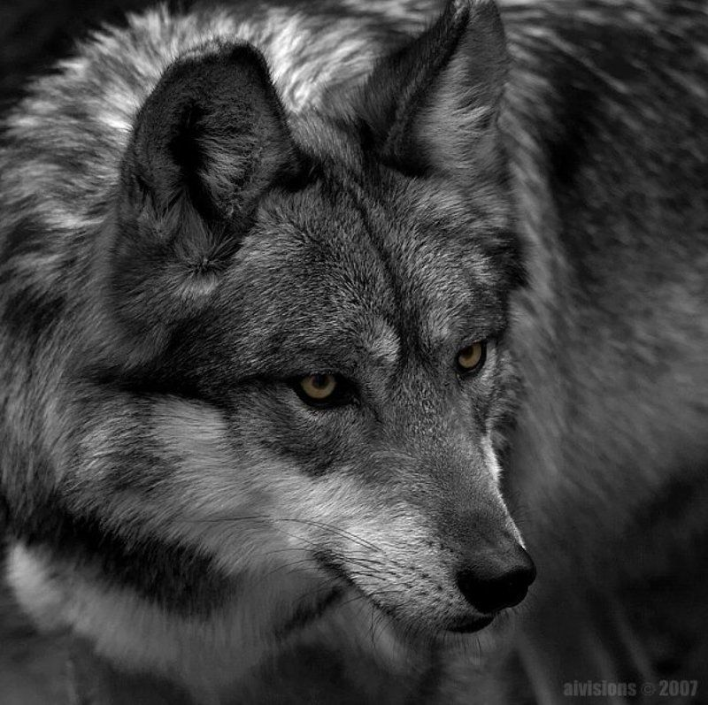 mexican wolf, lobo wolf, canis lupus baileyi, North America mexican wolfphoto preview