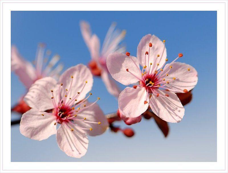 розовые, цветы, весна Розовая веснаphoto preview