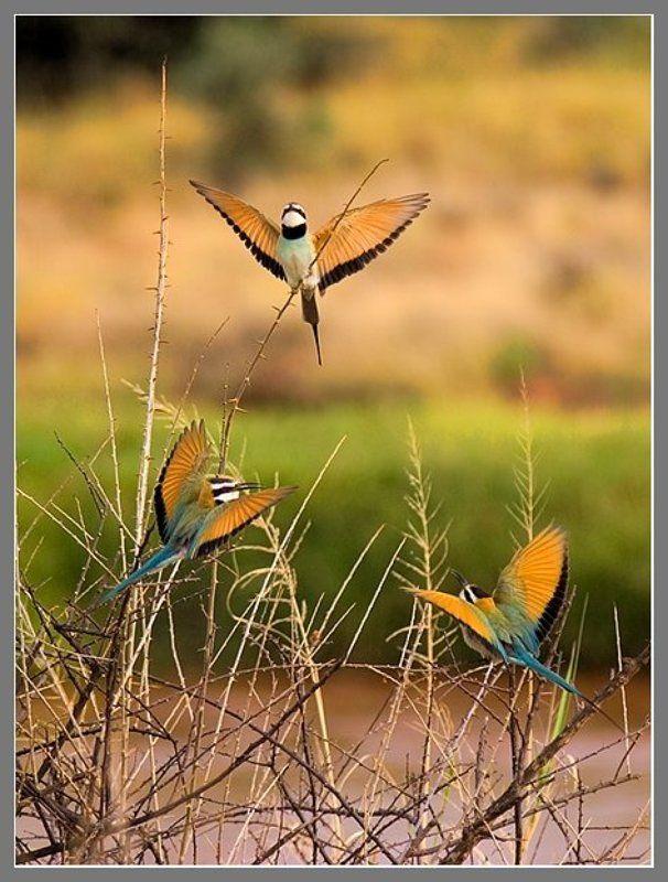 Африка, Кения, саванна, Bee-eaters Утреннее трио!photo preview