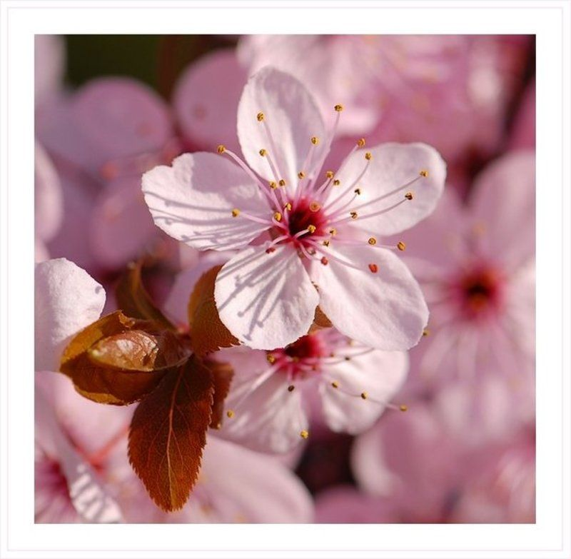 розовые, цветы, весна Розовая весна (1)photo preview