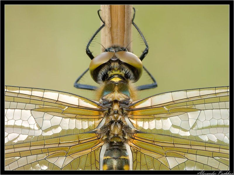 макро, стрекоза, витраж Золотые витражиphoto preview
