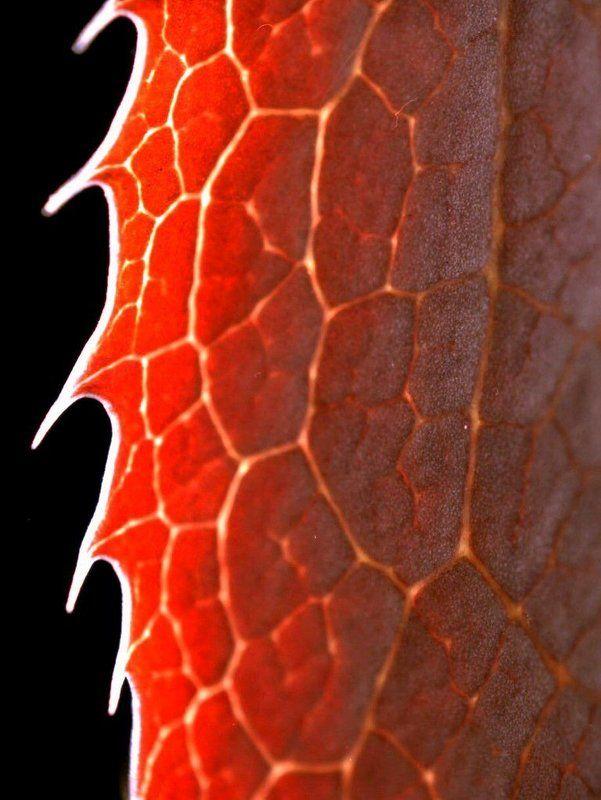 макро, контровый, свет, лист, бесерклет, зубчатый, пильчатый, зубчики, красный, что, угодно, еще Пила?photo preview
