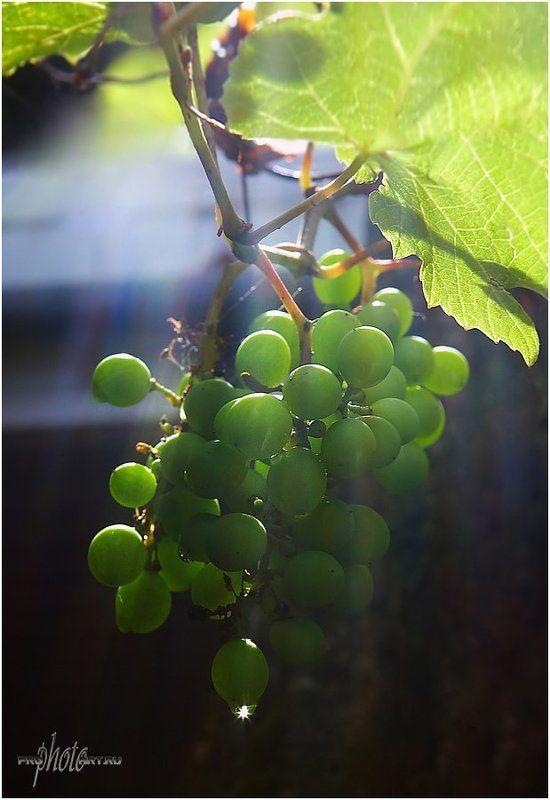 Виноградный лучphoto preview
