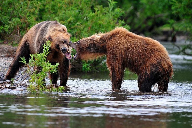 медведь bear горшков gorshkov Медведиphoto preview