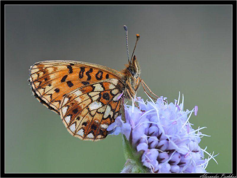 бабочка, перламутровка, селена Соннаяphoto preview
