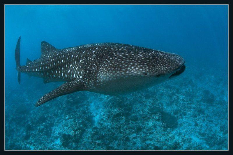 Китовая акулаphoto preview