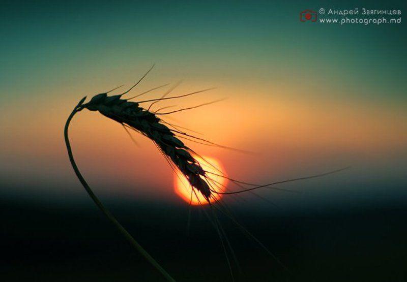 колос молдова природа закат солнце photo preview