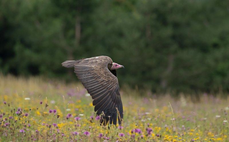 hooded vulture, vulture, bird, birds of prey, action, flight, Hooded vulturephoto preview