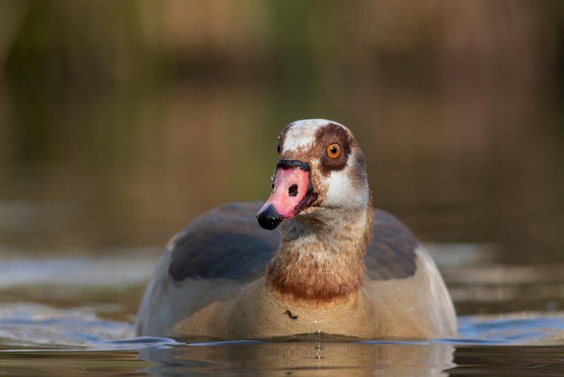 egyptian goose, goose, wildlife, nature, birds, water Egyptian goosephoto preview