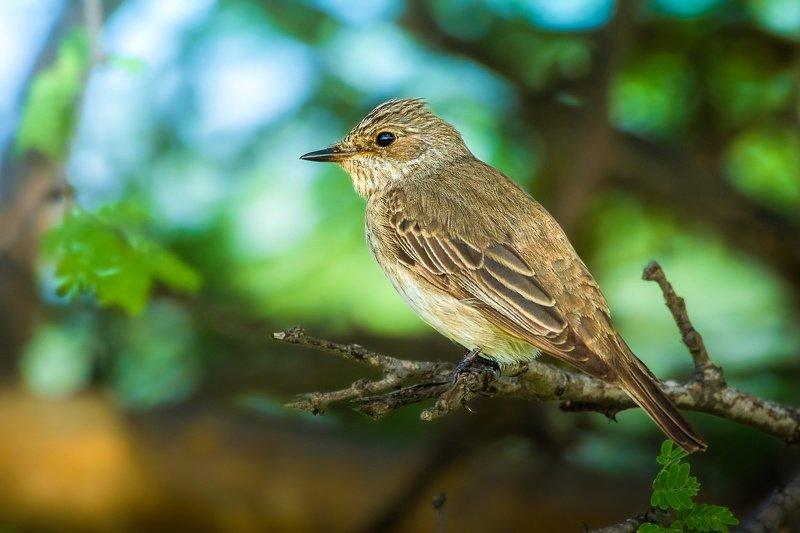 Spotted Flycatcher, nature, 35awards, 35photo, Wildlife, bird, birds, birds of india, parth, parth Kansara, parth kansara wildlife, indian Wildlife, photo, Photography, kutch, Flycatcher, natures, \