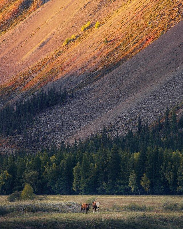 алтай, осень, россия, вечер, гора, горы, графика, долина, закат, коровы, лиственницы, пейзаж, река, скот, солнце Алтайские контрастыphoto preview