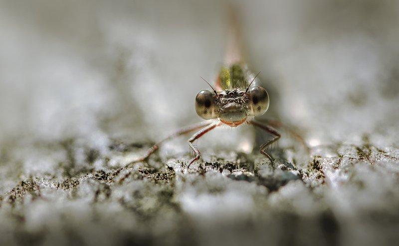природа, макро, насекомое, стрекоза Пыльная осеньphoto preview