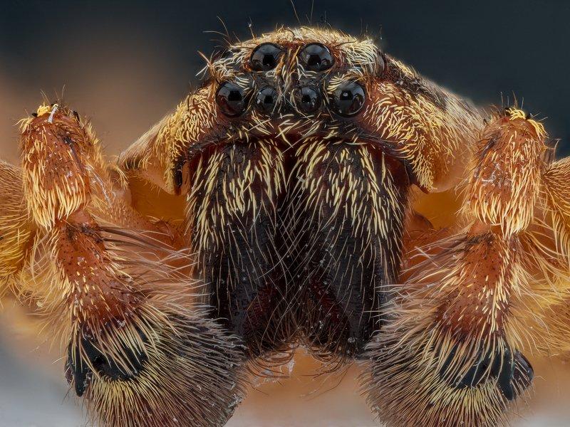 паук насекомое макро супермакро macro photo Портрет паука.photo preview