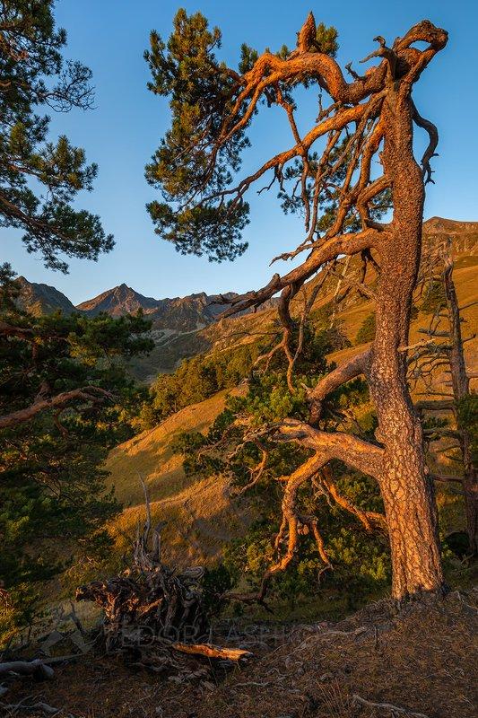 Горы, гора, Кавказ, Архыз, Кавказские горы, хребет, склон, вершина, лес, лесное, деревья, сосны, сосна, осень, осенний, рассвет, Живые хранители Архызаphoto preview