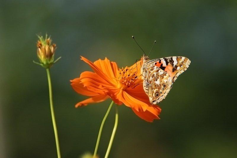 флора,фауна.бабочка,цветок.насекомое. Флора и фауна..photo preview