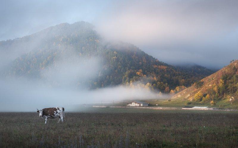 алтай, горный алтай, горы, золотая осень, пастораль, чемальский район, элекмонар, утро туманное, туман, рассвет, корова Про коровку, утренний туман и осенние горыphoto preview
