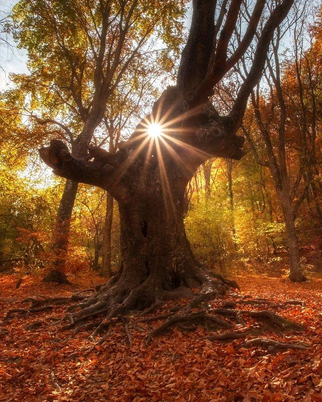 крым, лес, солнце, пейзаж, осень, алушта, джур-джур, хапхальское ущелье, дерево, генеральское, хапхал Хранитель лесаphoto preview