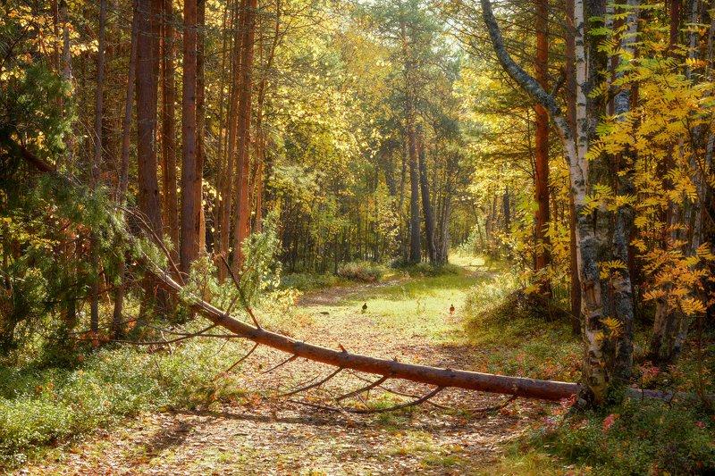 осень, сентябрь, лес, дорога, тишина, кусты, деревья, сосны, рябина Солнечная осеньphoto preview